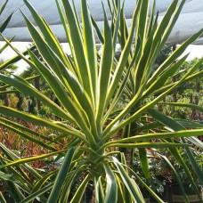 Yucca - 1 Year